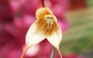orquidea macaco