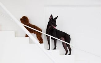 escada para cachorro